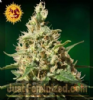 Barneys Farm Peppermint Kush Feminized 5 Seeds